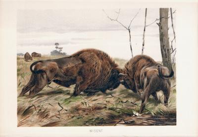 Chromolithographie aus dem Jahr 1890 zeigt zwei Wisentbullen im Kampf in freier Wildbahn.