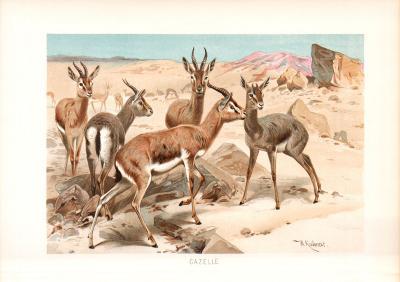Chromolithographie aus dem Jahr 1890 zeigt eine Gruppe Gazellen in freier Wildbahn.