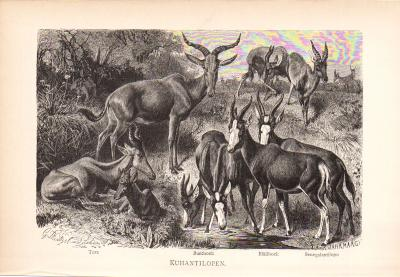 Stich aus dem Jahr 1890 zeigt vier Arten von Kuhantilopen in freier Wildbahn: Tora, Buntbock, Bläßbock und Senegalantilope.