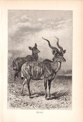 Stich aus dem Jahr 1890 zeigt zwei Kudu in freier Wildbahn.