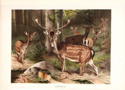 Chromolithographie  aus dem Jahr 1890 zeigt eine Gruppe Damwild in freier Wildbahn.