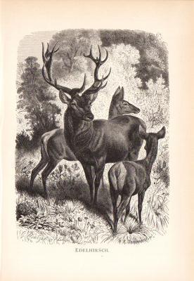 Stich aus dem Jahr 1890 zeigt eine Gruppe Edelhirsche in freier Wildbahn.