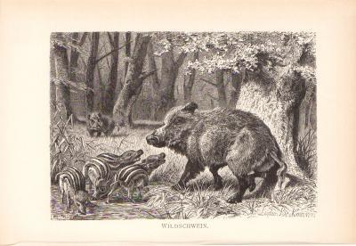 Stich aus dem Jahr 1890 zeigt eine Gruppe Wildschweine in freier Wildbahn.