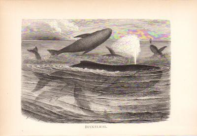 Stich aus dem Jahr 1890 zeigt eine Gruppe Buckelwale in freier Wildbahn.