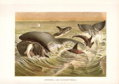 Chromolithographie aus dem Jahr 1890 zeigt Nordwale und Schwertwale in freier Wildbahn.