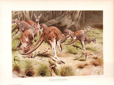 Chromolithographie aus dem Jahr 1890 zeigt Riesenkänguruhs in freier Wildbahn.