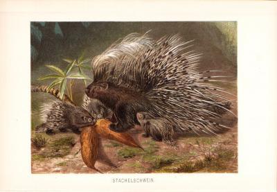 Chromolithographie aus 1890 zeigt Stachelschweine in freier Wildbahn.