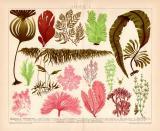 Chromolithographie aus 1891 zeigt 15 Sorten von Algen.