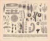 Stich aus 1891 zeigt 18 Sorten von Algen.