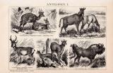 Stich aus 1891 zeigt verschiedene Arten von Antilopen,...