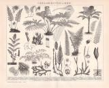 Gefäßkryptogamen Holzstich 1892 Original der Zeit