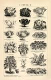 Gemüse I. - II. Holzstich 1892 Original der Zeit