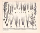 Getreidearten Holzstich 1892 Original der Zeit