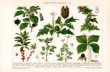Giftpflanzen II. Chromolithographie 1892 Original der Zeit