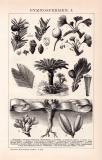 Gymnospermen I. Holzstich 1892 Original der Zeit