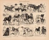 Hunderassen Holzstich 1891 Original der Zeit