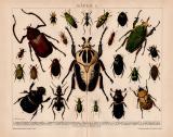 Käfer I. Chromolithographie 1891 Original der Zeit