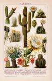 Kakteen Chromolithographie 1891 Original der Zeit