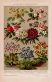 Kalthauspflanzen Chromolithographie 1891 Original der Zeit