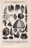 Petrefakten Känozoische Formation I. Holzstich 1891 Original der Zeit