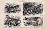 Katzen I. Holzstich 1891 Original der Zeit