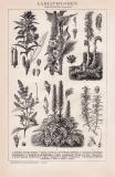 Labiatifloren Holzstich 1891 Original der Zeit