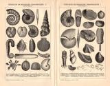 Petrefakten Mesozoische Formation I. - IV. Holzstich 1891...