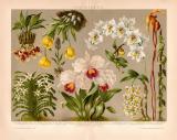 Orchideen Chromolithographie 1891 Original der Zeit