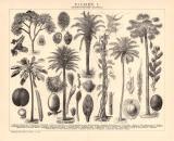 Palmen I. Holzstich 1891 Original der Zeit