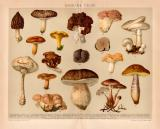 Essbare Pilze Chromolithographie 1891 Original der Zeit
