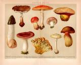 Giftige Pilze Chromolithographie 1891 Original der Zeit