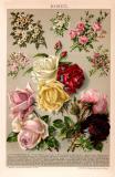 Rosen Chromolithographie 1891 Original der Zeit