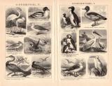 Schwimmvögel I. - IV. Holzstich 1891 Original der Zeit