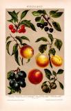 Steinobst Chromolithographie 1891 Original der Zeit