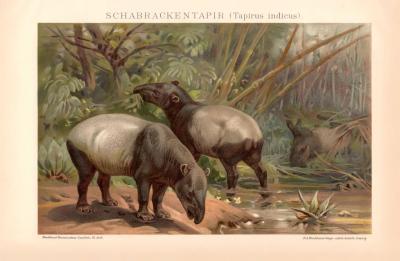 Schabrackentapir Chromolithographie 1891 Original der Zeit