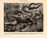 Tiefseeleben Holzstich 1891 Original der Zeit