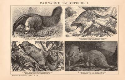 Zahnarme Säugetiere I. Holzstich 1891 Original der Zeit