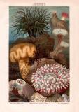 Aktinien Chromolithographie 1885 Original der Zeit