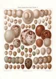 Eier europäischer Vögel I. Chromolithographie...