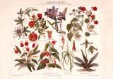 Zimmerpflanzen I. Chromolithographie 1890 Original der Zeit