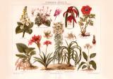 Zimmerpflanzen II. Chromolithographie 1890 Original der Zeit