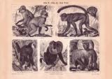 Affen II. Affen der Alten Welt Holzstich 1885 Original...