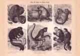 Affen III. Affen der Neuen Welt Holzstich 1885 Original...