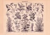 Arzneipflanzen II. Holzstich 1885 Original der Zeit