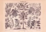 Arzneipflanzen III. Holzstich 1885 Original der Zeit