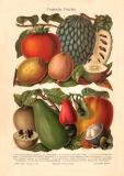 Tropische Früchte historischer Druck...