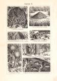 Ameisen I. + II. historischer Druck Holzstich ca. 1902