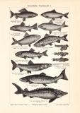 Künstliche Fischzucht I. - II. historischer Druck...