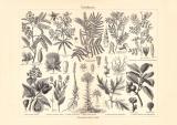 Farbpflanzen historischer Druck Holzstich ca. 1904