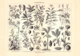 Genußmittelpflanzen historischer Druck Holzstich...